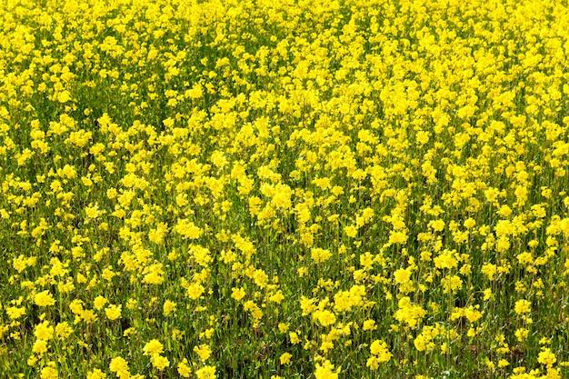 Желтые весенние цветы рапса на поле, весенние особенности сельскохозяйственной деятельности