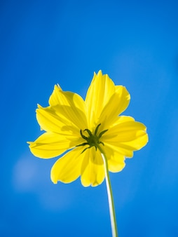 Yellow starship flowers on blue sky background