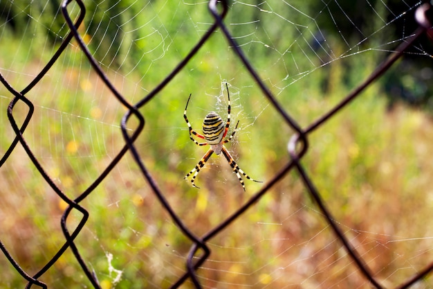 Yellow striped spider weaved a web on a metal grid close-up