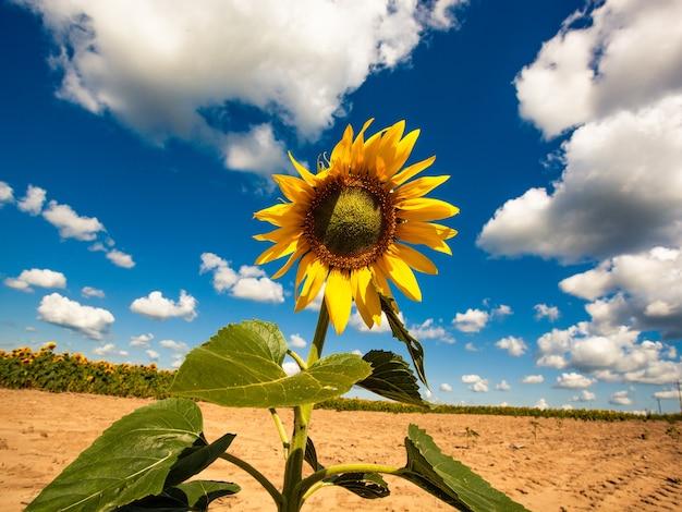 Желтый подсолнух, цветущий на фоне голубого неба на саду. органический и экологический завод по производству пищевого масла для здорового образа жизни