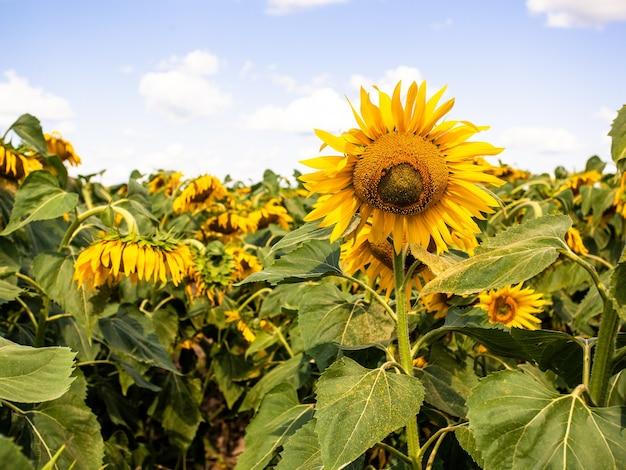 정원에 푸른 하늘 backgraound에 피는 노란 해바라기. 씨앗과 기름. 건강한 생활을 위한 식용유 생산을 위한 유기농 및 생태 식물