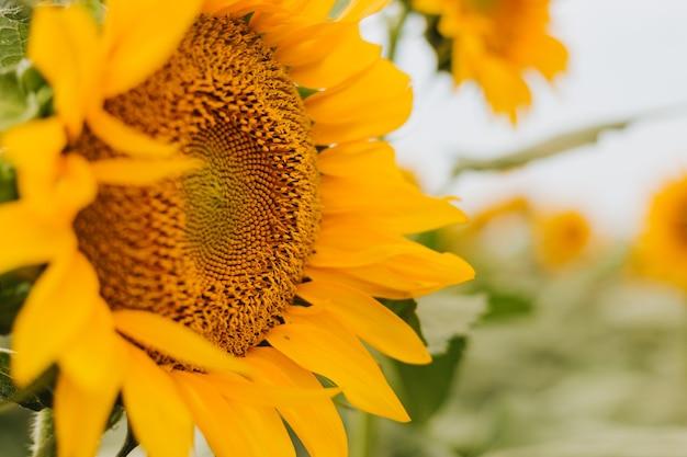 Желтый сельский пейзаж поля подсолнечника. время сбора урожая, сельское хозяйство, сельское хозяйство, добыча нефти. здоровые масла