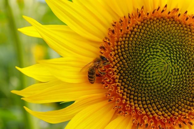 Желтый цветок подсолнуха и пчела