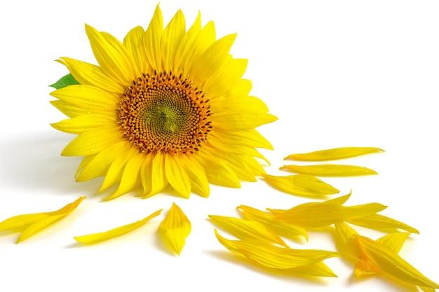 Желтый цветок подсолнечника и лепестки, изолированные на белом фоне.