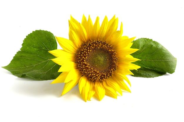 Желтый цветок подсолнечника с зелеными листьями, изолированные на белом фоне.