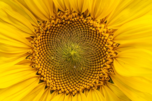 Yellow sunflower macro detail in nature in grow phase in spring