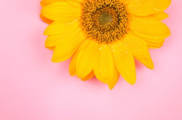 Yellow sunflower macro shot on pink background. copy space