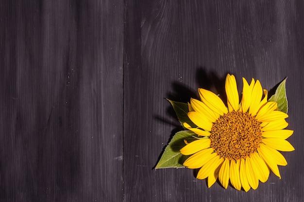 Желтый подсолнух на черном деревянном фоне. шаблон летней яркой открытки, вид сверху