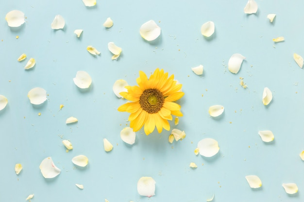 Yellow sunflower surrounded with white petals on blue surface