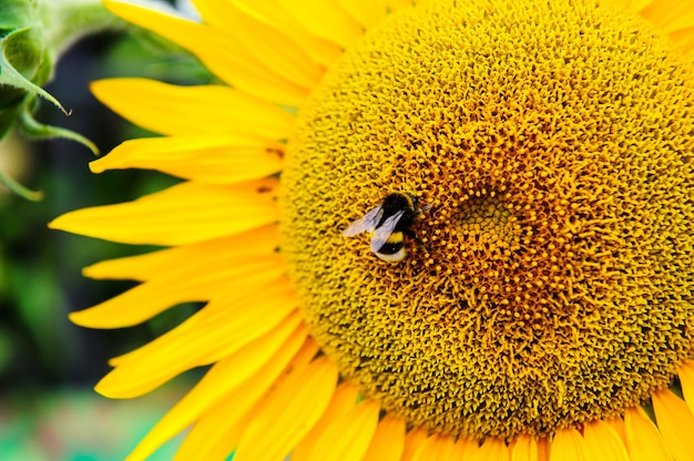 蜂と黄色いヒマワリ。