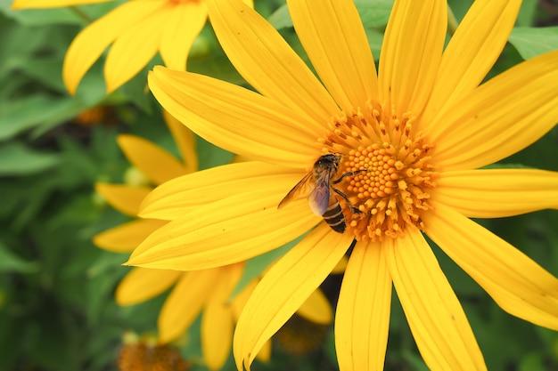 Yellow sunflower with bee in flower garden.