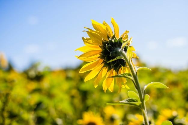 Желтый подсолнух с большими лепестками в поле на фоне голубого неба