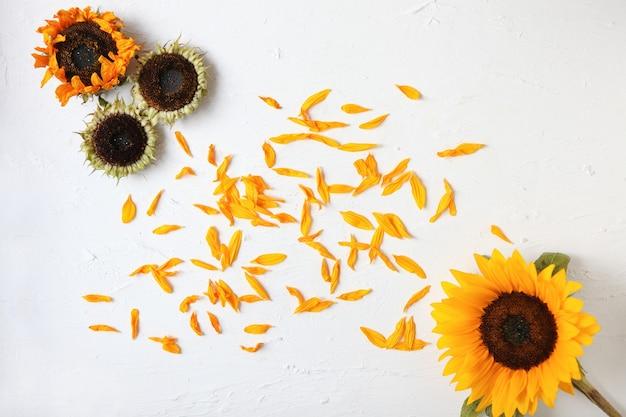 모든 주위에 고립 된 흰색 배경 잎 노란 해바라기