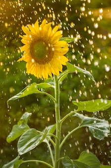 Yellow sunflower with a lot of water droplets.