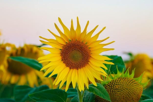 푸른 하늘에 씨앗이 있는 노란 해바라기