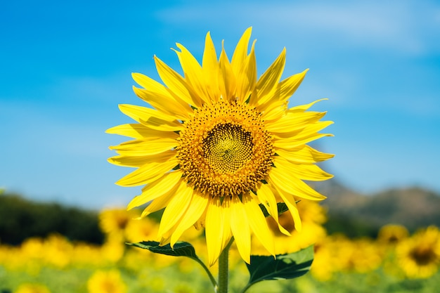 The yellow sunflowers are blooming with a beautiful blue sky in the morning.