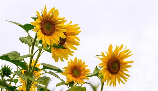 Желтые подсолнухи на светлом фоне. выращивание подсолнечника_
