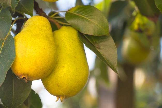 Yellow sweet pear on a tree branch