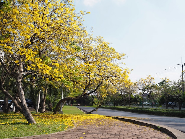 Yellow tabebuia rosea tree lines and flowers fall on grass ground