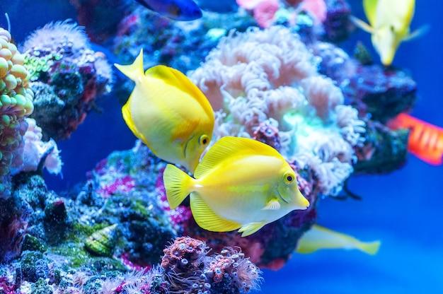 Желтохвостая тропическая рыба (zebrasoma flavescens).