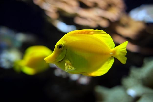 노란색 탕 zebrasoma flavescens 물고기 수중 바다에서