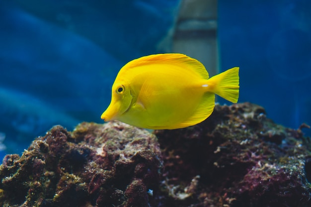 The yellow tang (zebrasoma flavescens) is a saltwater fish species of the family acanthuridae.