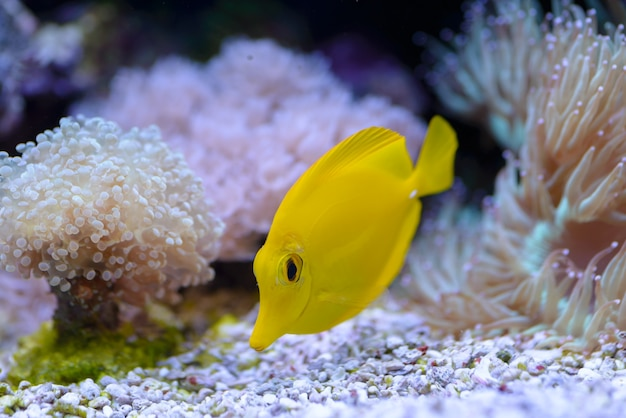 Yellow tang or zebrasoma flavescens, swimsh of a before the corals, in a marine aquarium.