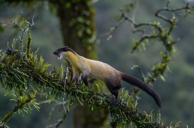 Yellow-throated marten walking on a tree to find food in the rainforest in northern thailand