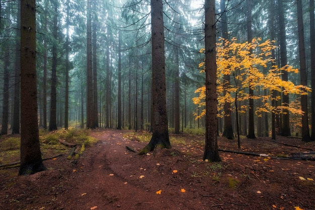 Желтое дерево в туманном осеннем лесу на севере