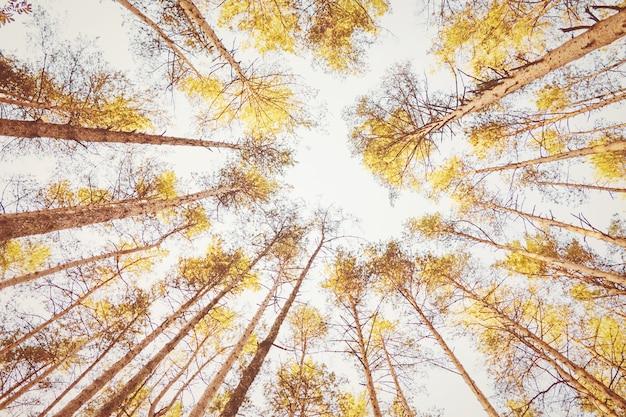 창백한 하늘을 배경으로 가을 숲의 노란 나무들