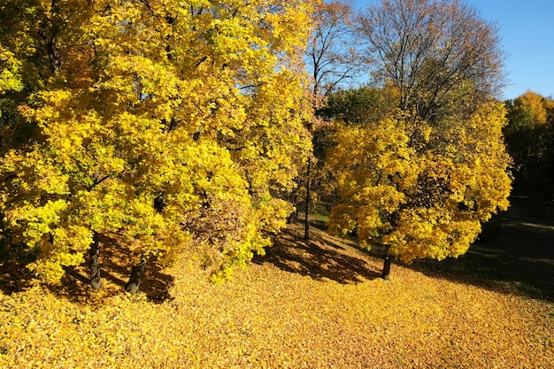 Yellow trees in the park leaf fall beautiful autumn landscape