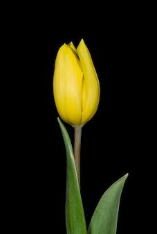 黒の背景に黄色のチューリップの花