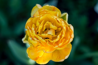 Yellow tulip flower. Spring cart. Women's Day.