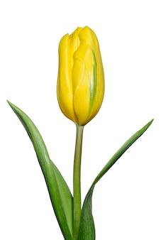 白い背景の花や植物に分離された黄色のチューリップ