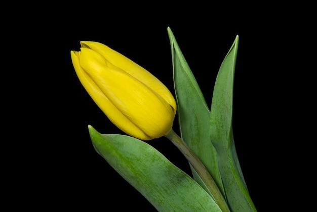 黒の背景に黄色のチューリップ