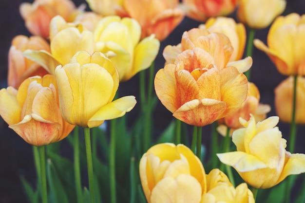 Желтые тюльпаны цветут в саду