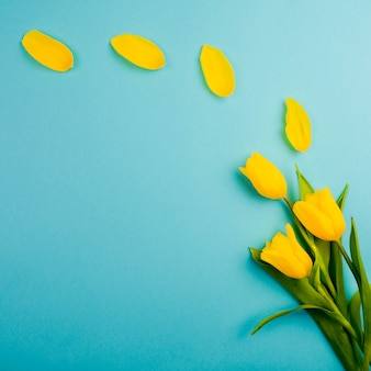 Yellow tulips on blue. delicate petals from a tulip