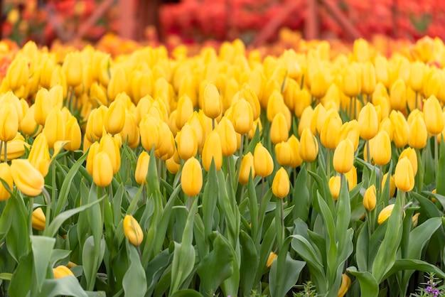 緑の自然と春の花の庭で黄色のチューリップの花が咲きます。