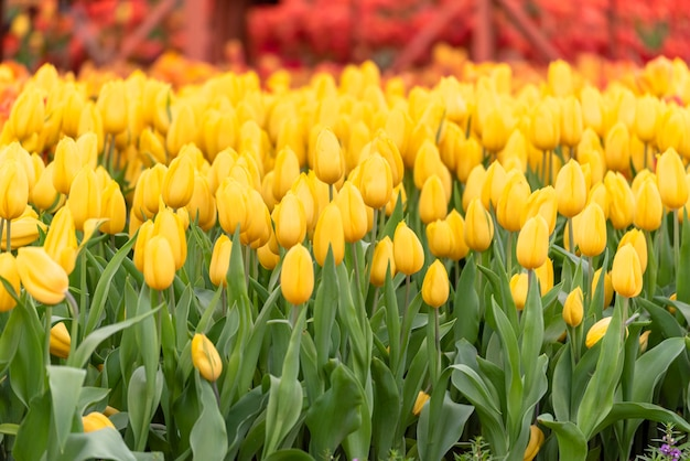 Yellow tulips floral bloom in spring flower garden with green nature.