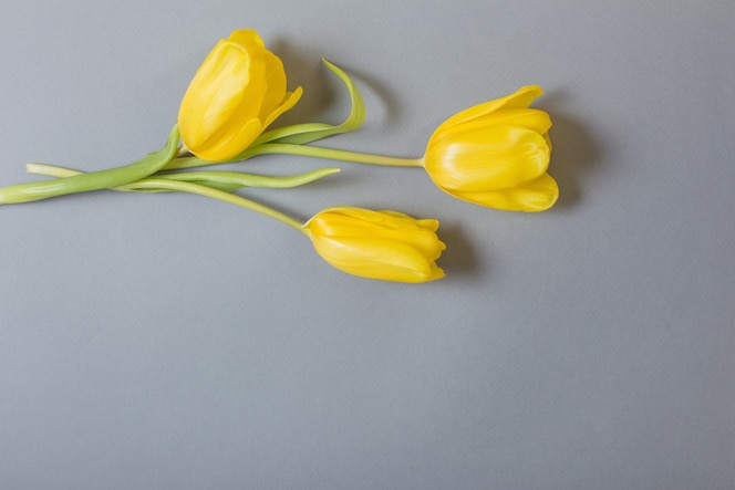 在灰色背景的黄色郁金香,2021的颜色