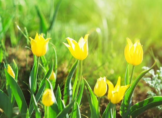 日光の背景で牧草地に黄色のチューリップ。ソフトフォーカスで晴れた夏の日または朝