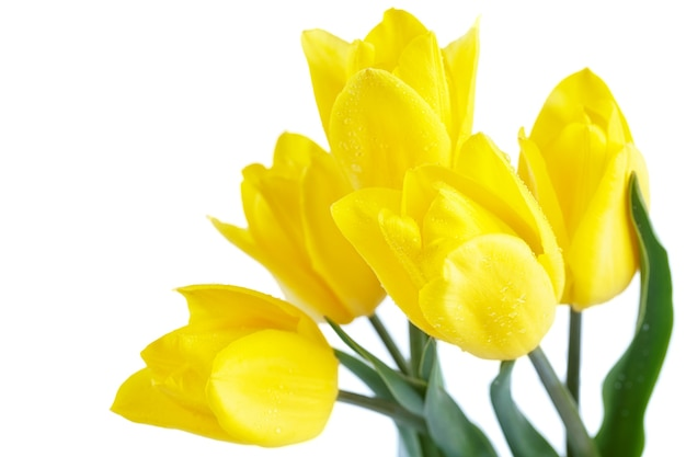 Yellow tulips isolated on white surface. spring holiday concept