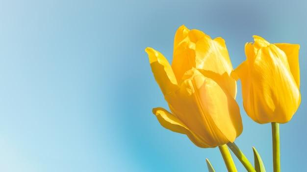青い背景に黄色いチューリップ。春を待って、3つのチューリップ、スペースのコピーが付いたハッピーイースターカード。