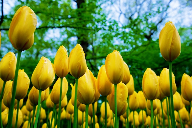 Yellow tulips seem from the ground