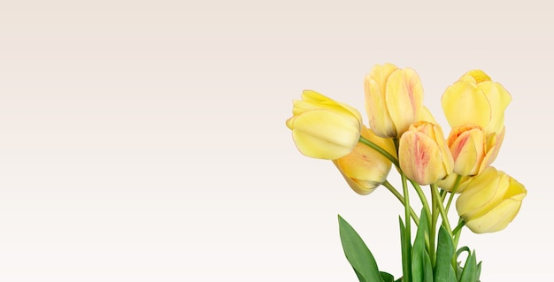 Yellow tulips on white surface, festive surface, copy space