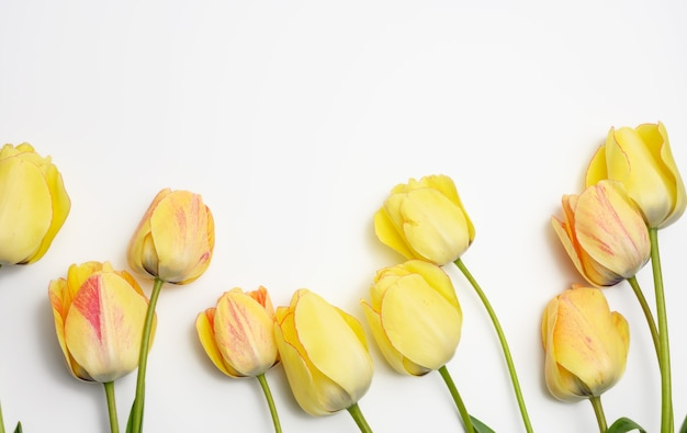 Yellow tulips on white surface, festive surface, top view