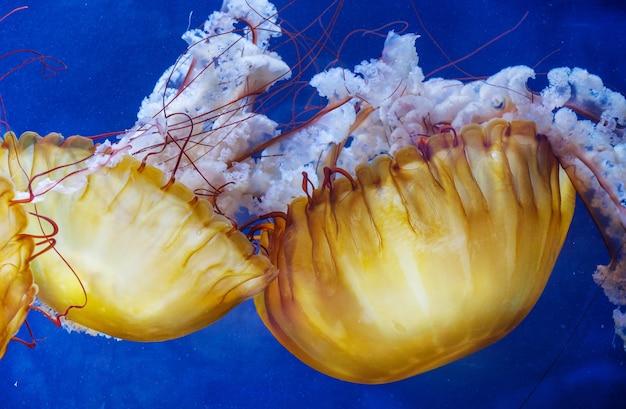 黄色い珍しいクラゲ