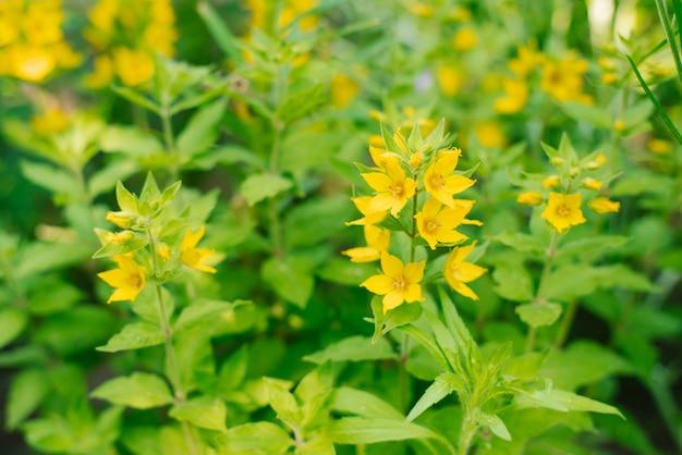 春の庭の黄色のバーベナの花