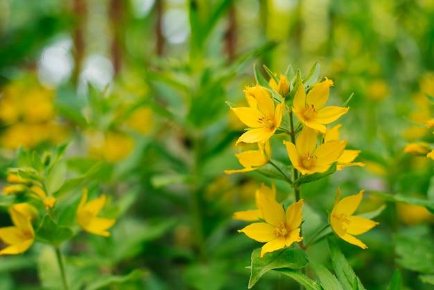 夏の庭の黄色のバーベナの花