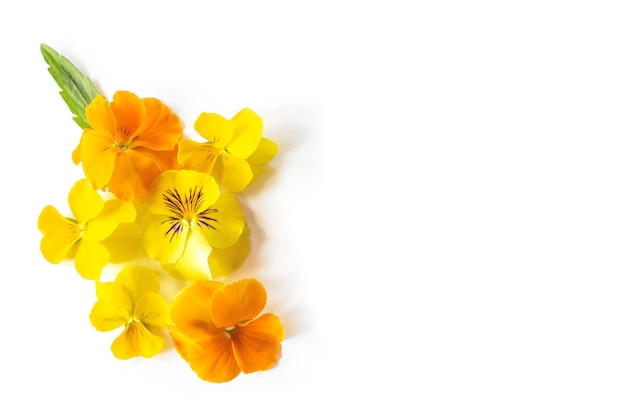 Желтая виола анютины глазки цветок творческая композиция. красочные весенние цветы на белом фоне.